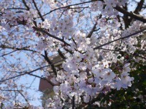 2017年4月4日お花見1